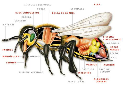 Bijujo de las partes de una abeja