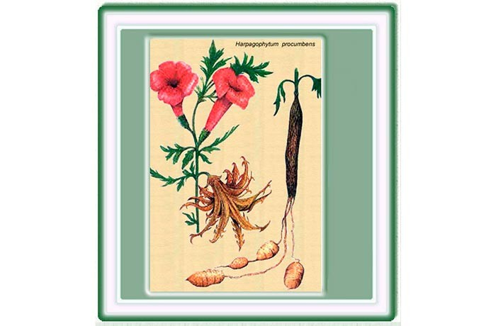 Harpagofito, antiinflamatorio natural